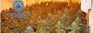 pinos-marihuana--647x231